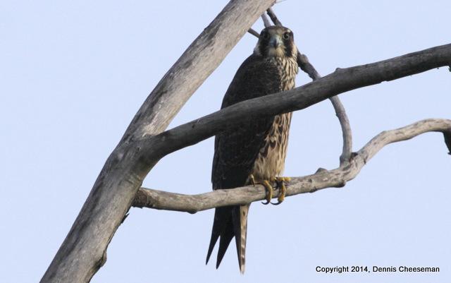 falcon-001