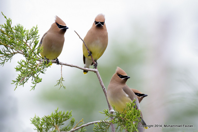 1.Cedar_waxwings_Gang