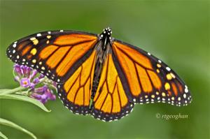 Sept 8_ButterflyMonarchSM_ReginaGeoghan_2415