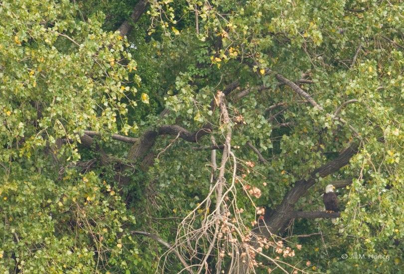ridgefield eagle jill