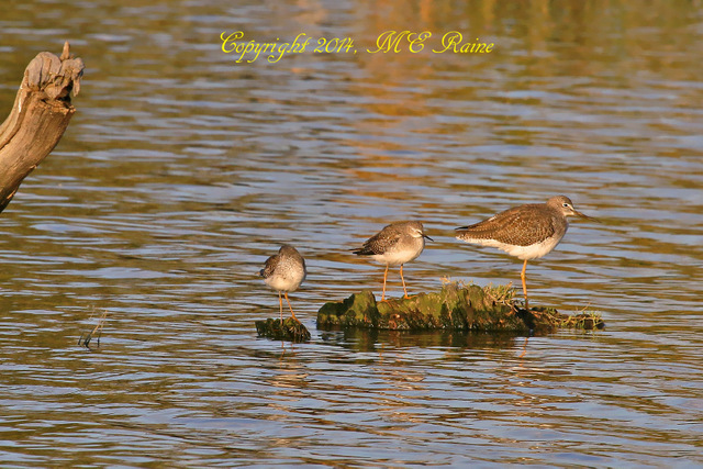 101714 FTD B Yellowleg Greater 018af MCM Mdwlnds NJ Sunset 101714 OK FLICKR