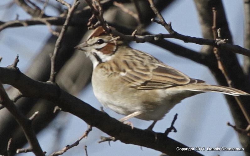 lark sparrow (2)