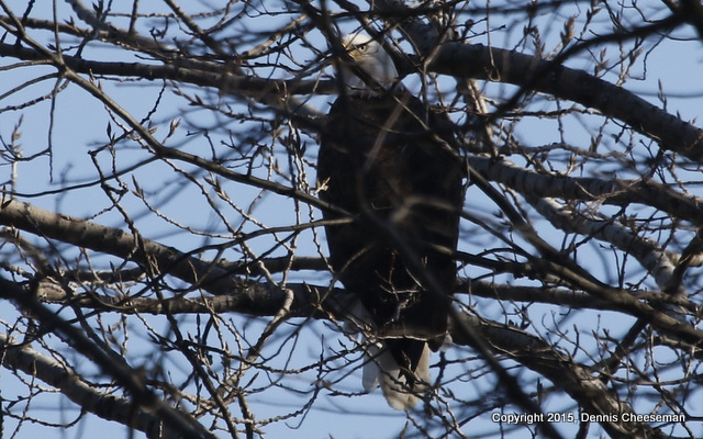 eagle in tree-001