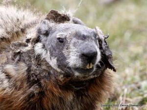 groundhog 2015