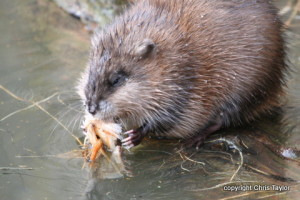 Muskrat by Chris Taylor