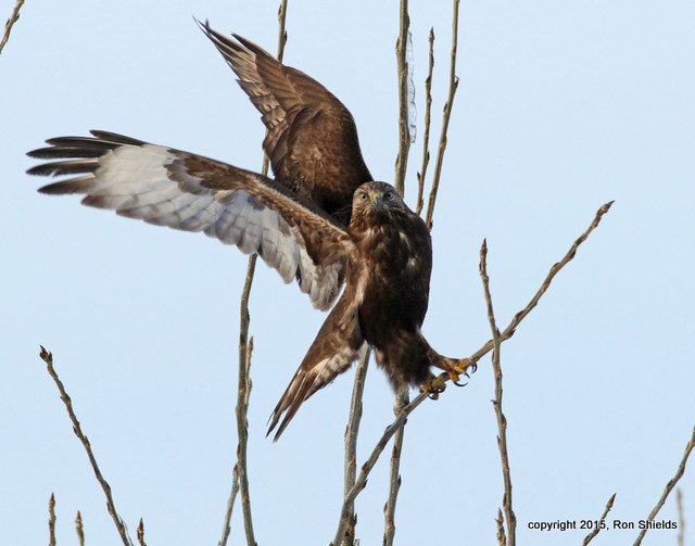 RS Rough-legged Hawk dark morph