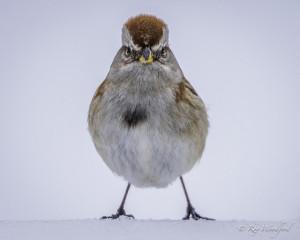 RW American Tree Sparrow 2015