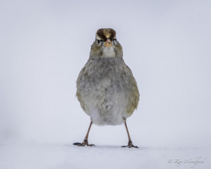 RW White-crowned Sparrow