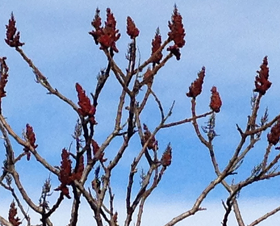 Rhus typhina: Staghorn Sumac