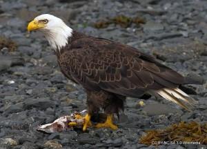 2010-bald-eagle