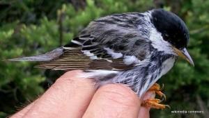 blackpoll warbler_wiki