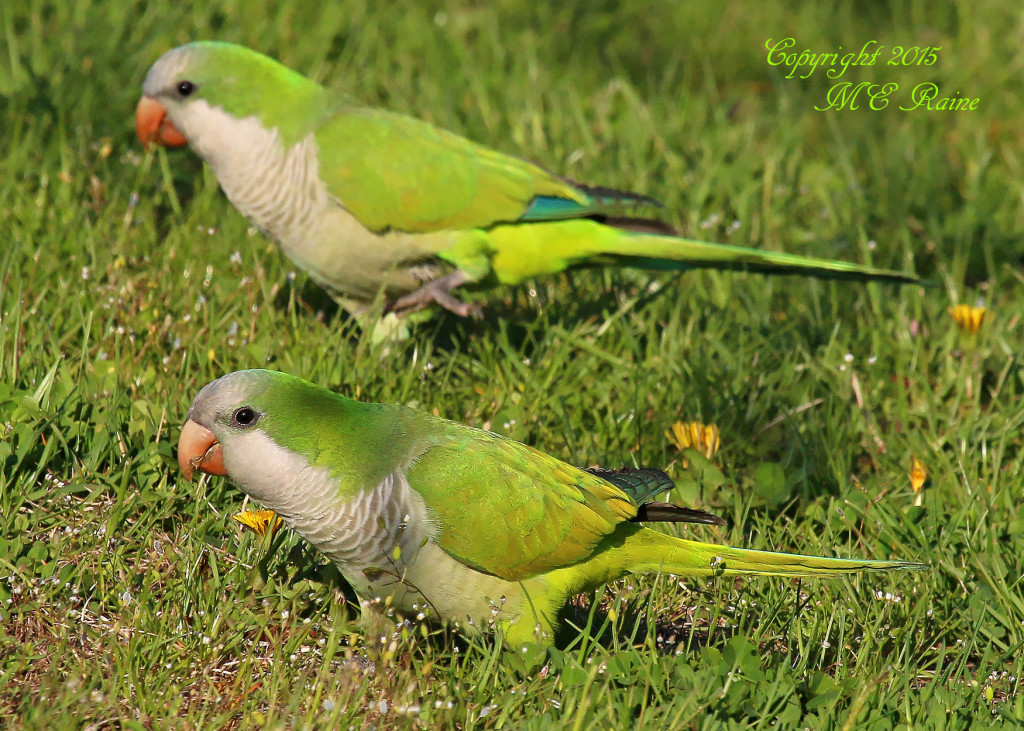 00 B Parakeet, Monk 001cf MCP Mdwlnds NJ 050215 OK FLICKR