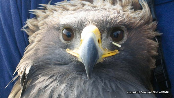 Golden Eagle with porcupine quill.