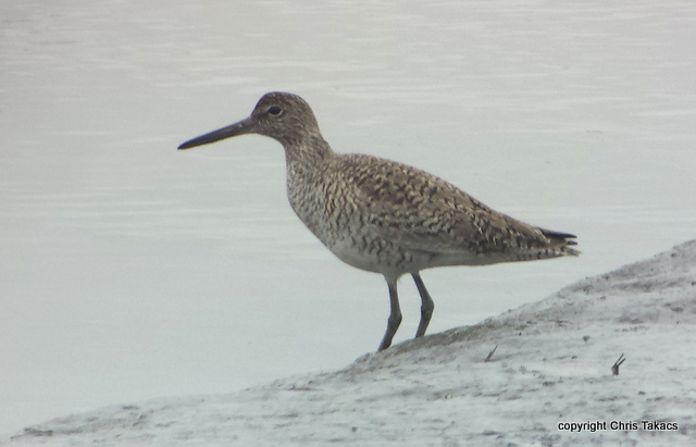 Willet Chris Takacs