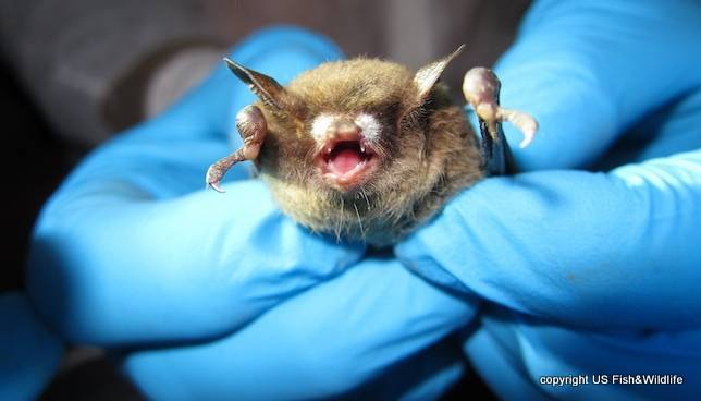 little-brown-bat-US Fish and Wildlife