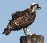 osprey-1-IMG_0622