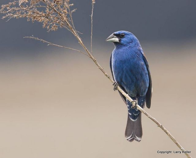 Blue Grosbeak Larry Keller