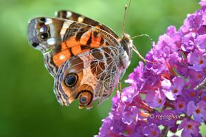 July 22_Butterfly-AmericanLady-DeKorteSM_ReginaGeoghan_9337