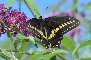 July 22_Butterfly-BlackSwallowtail-DeKorte-SM_ReginaGeoghan_9275