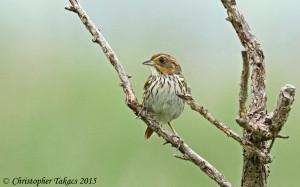 Saltmarsh Sparrow 3