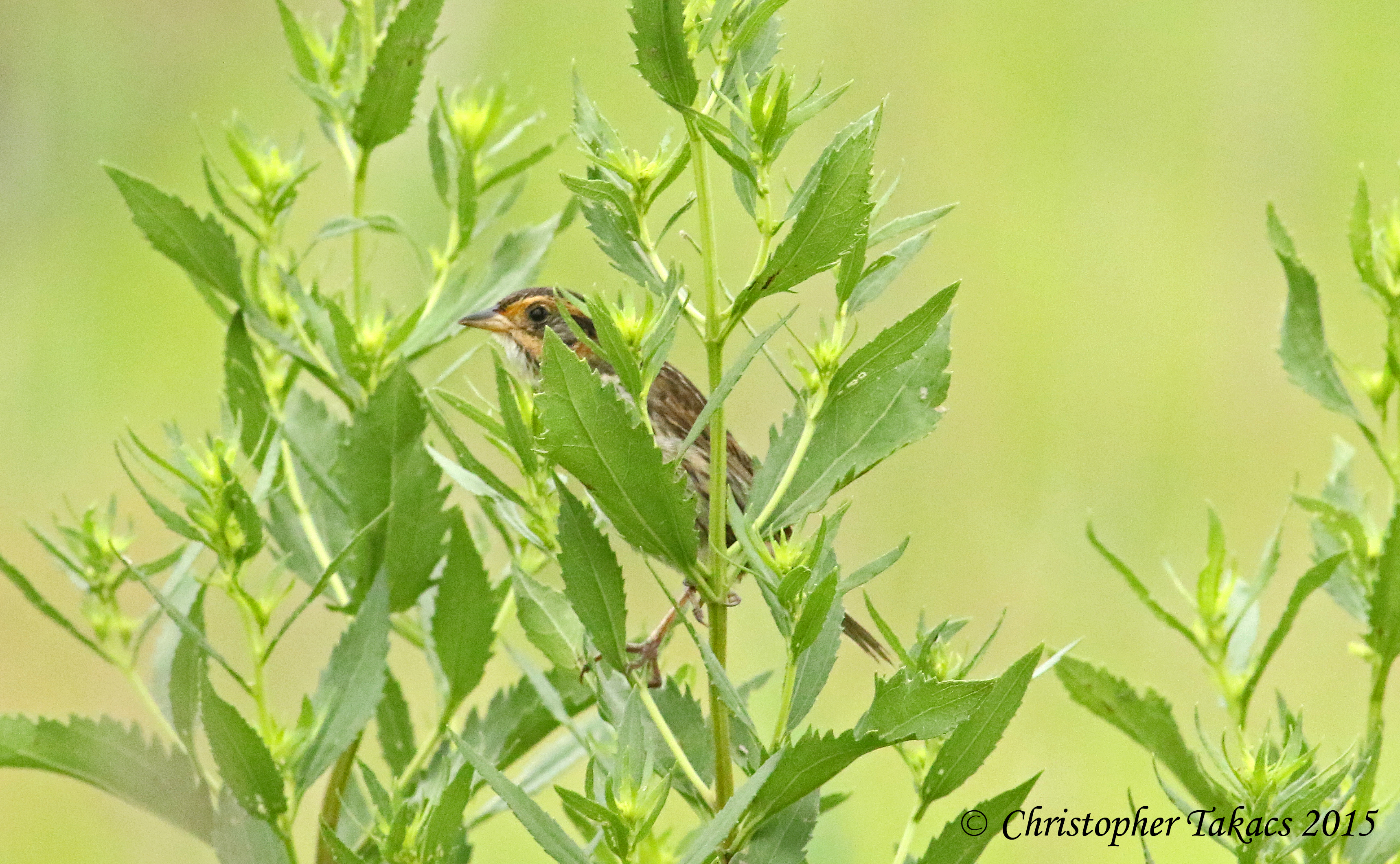 Saltmarsh Sparrow 6