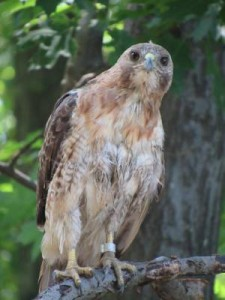 Red-tailed hawk. Photo by Jeri Kratina