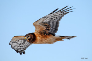 northern harrier jeff nicol