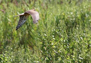 Northern harrier marsh hawk
