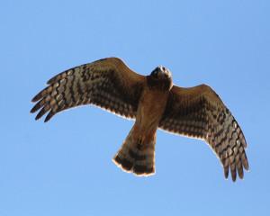 Northern Harrier Credit NJSEA
