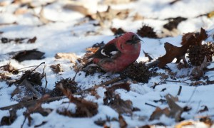 White-Winged-Crossbill-at-Losen-Slote-feeding-on-Sweetgum-seeds-Photo-by-Maureen-Krane