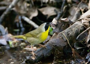 Common Yellowthroat Credit: Fred Nisenholz