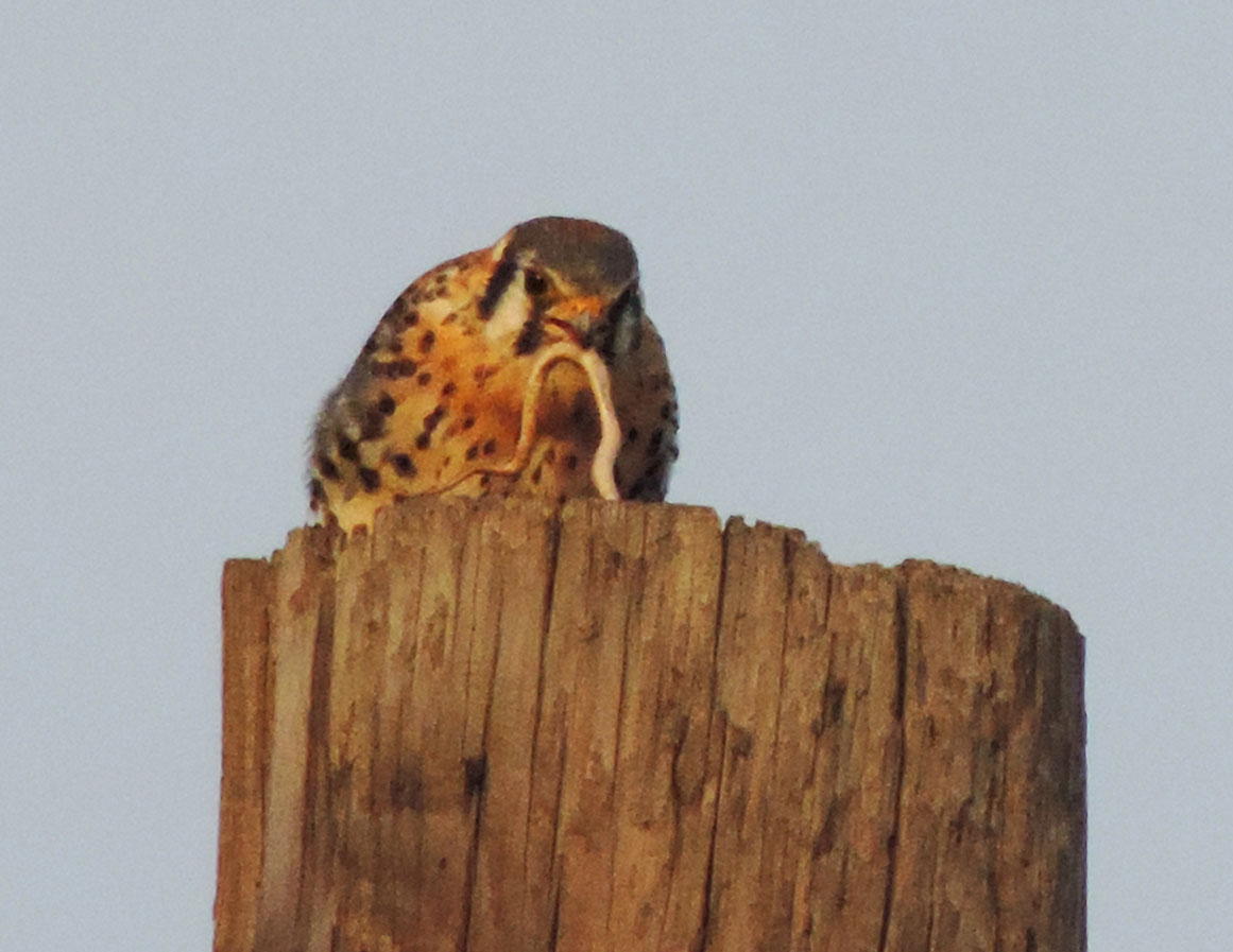 Kestrel Feeding Disposal 11.27.15 Rich Brown