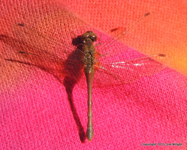 dragonfly jw