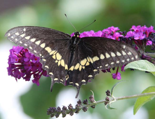 Black Swallowtail - Courtesy Alice Leurck