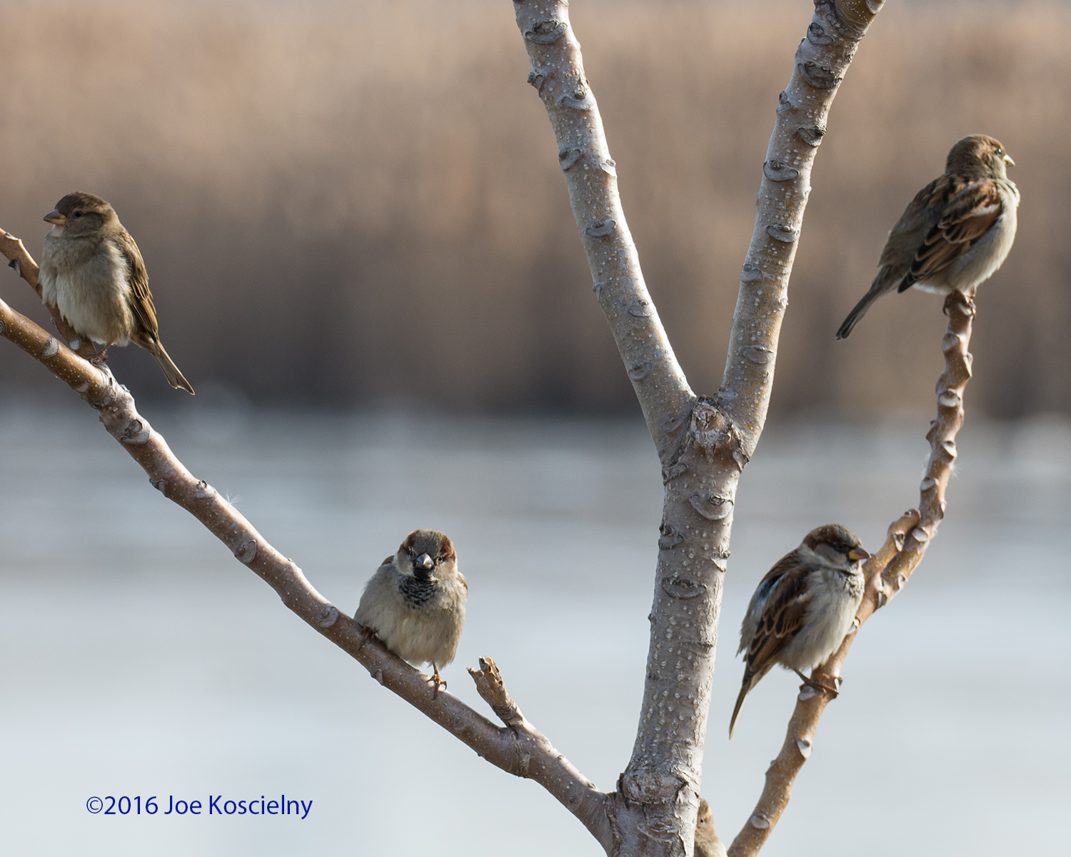 DeK 1-07-House Sparrows 6