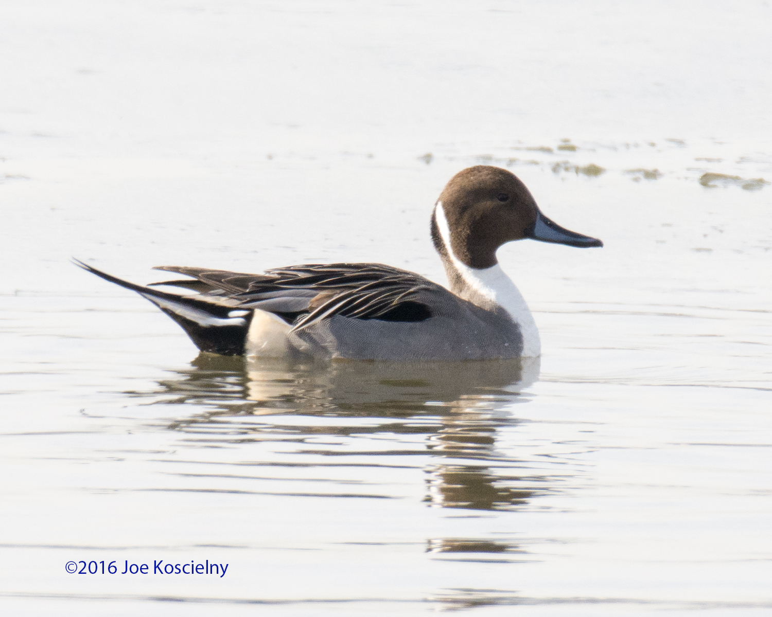 DeK 1-07-Northern Pintail 4