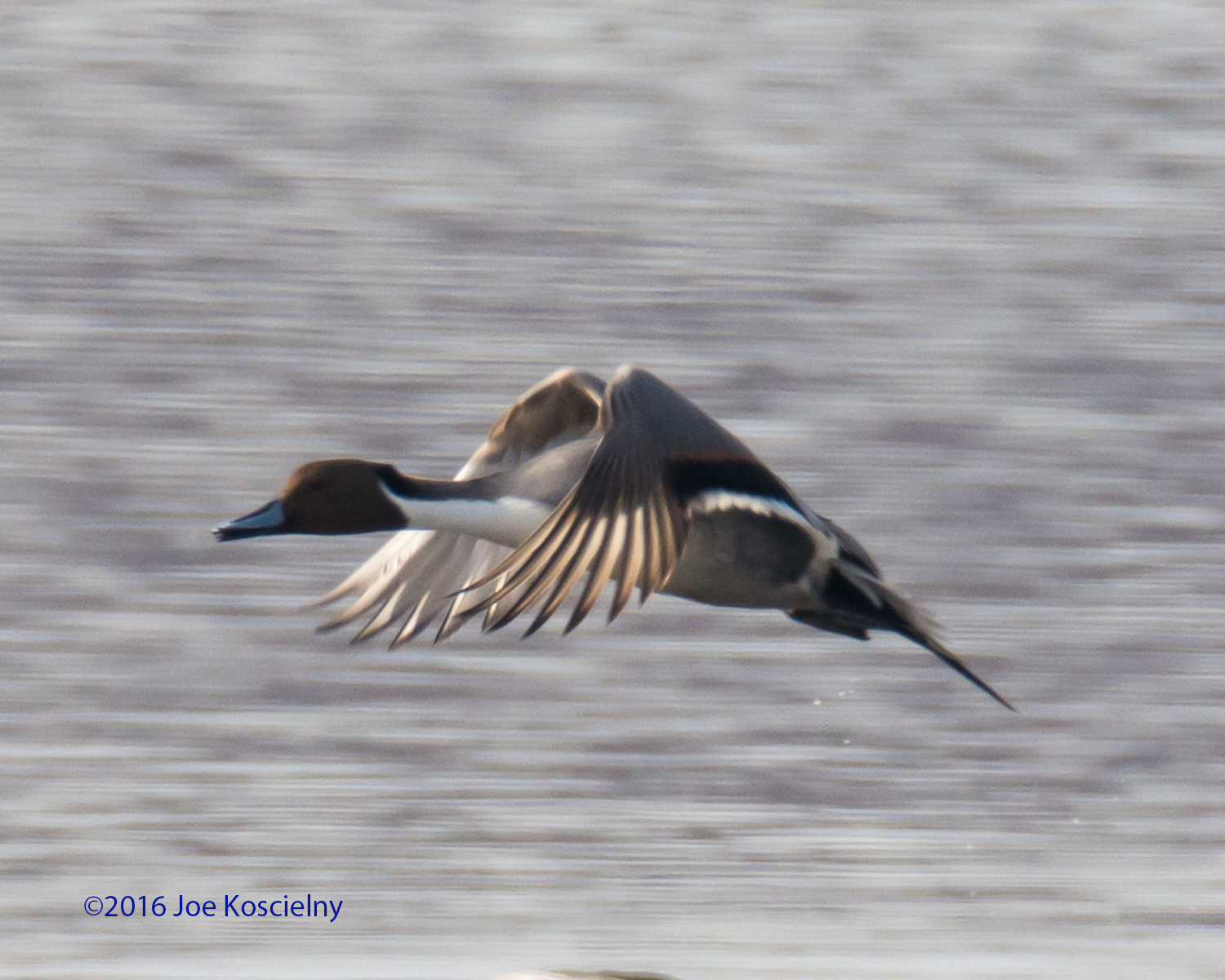 DeK 1-07-Northern Pintail 8