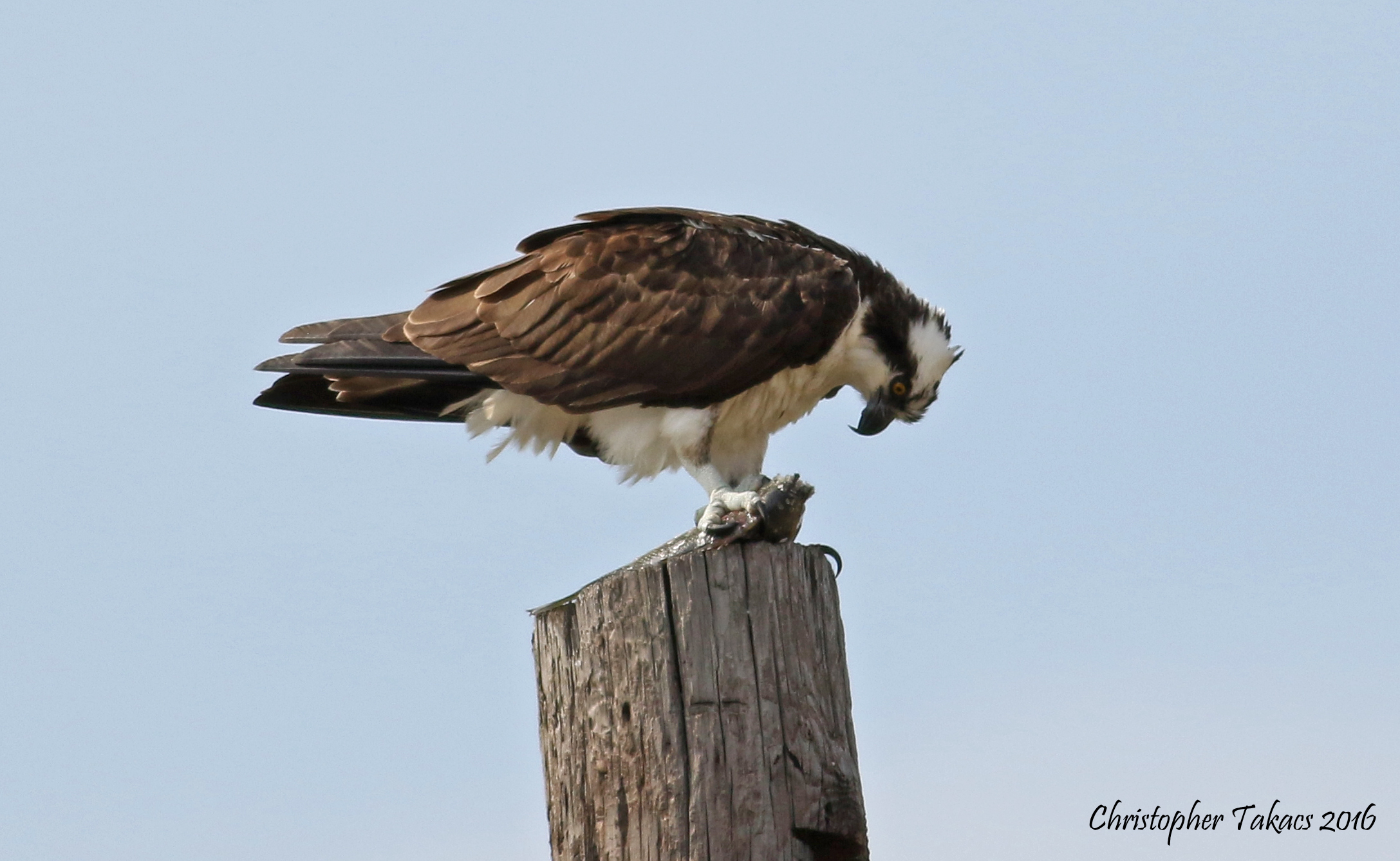 Osprey  Takacs 3.24.16