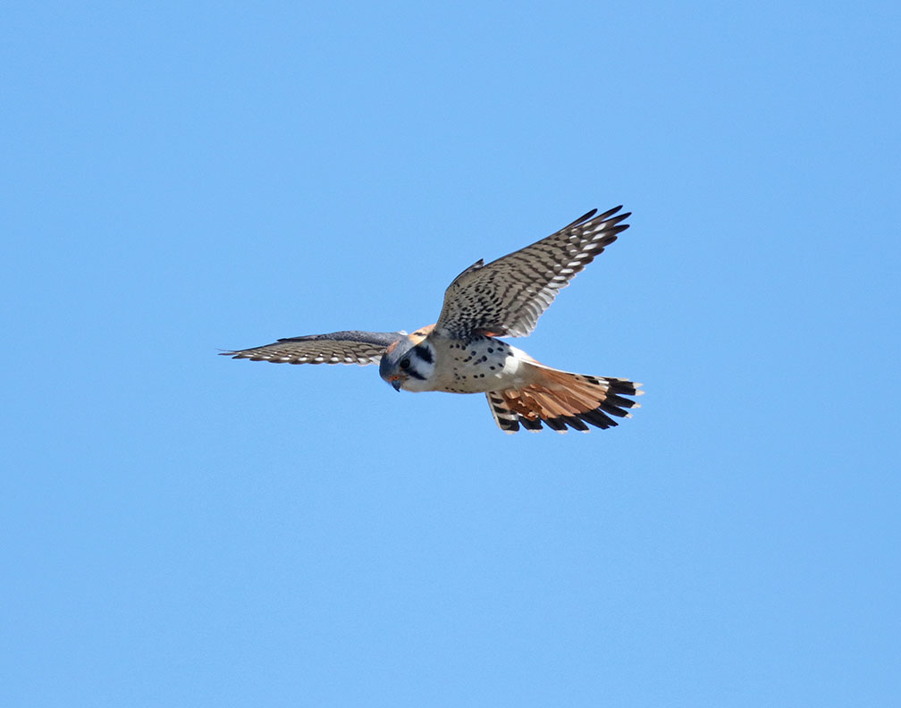 Shields Valley Brook Kestrels2