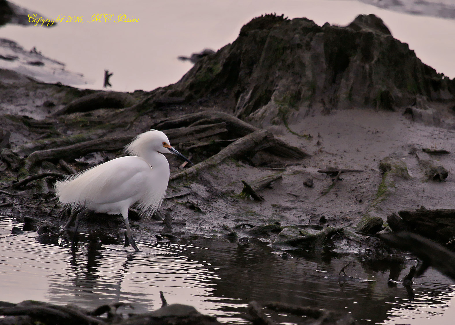 313 B EgretS 053af MCM Mdwlnds NJ Twilight Hunting 040916 OK FLICKR