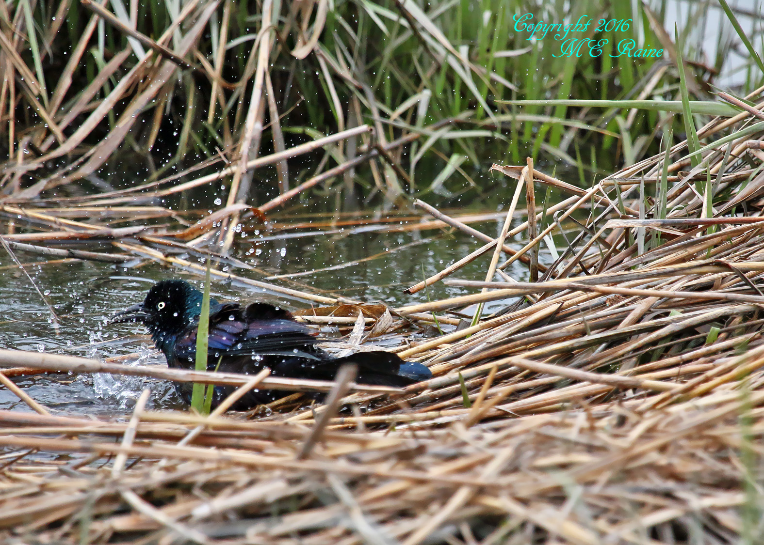 Grackle Common 009af MCM Mdwlnds NJ Bathing 042516 OK FLICKR