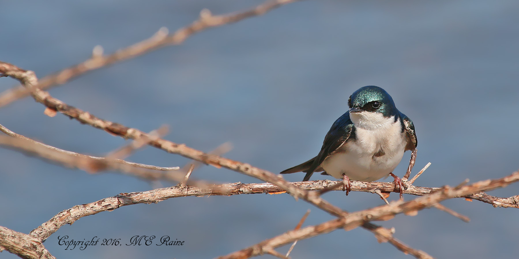 MCM Tree Swallow2 Mickey 4.1.16