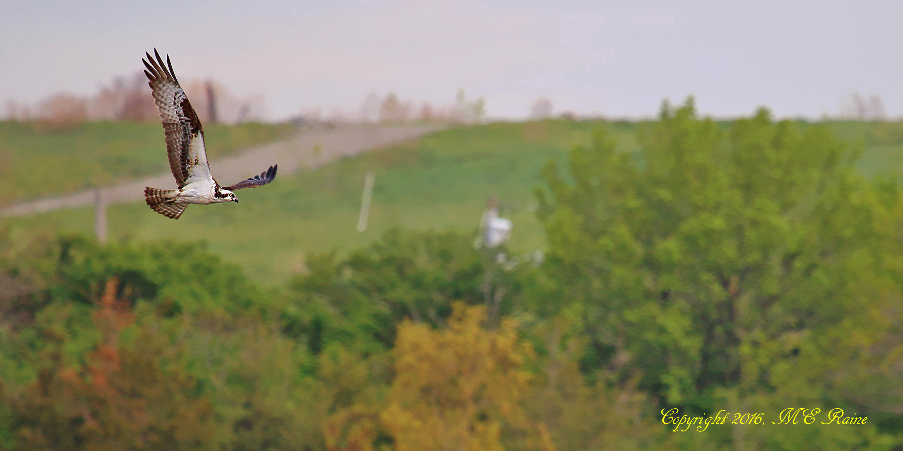 Osprey 017a1f RchrdDKorte Park Mdwlnds NJ 042516 OK FLICKR
