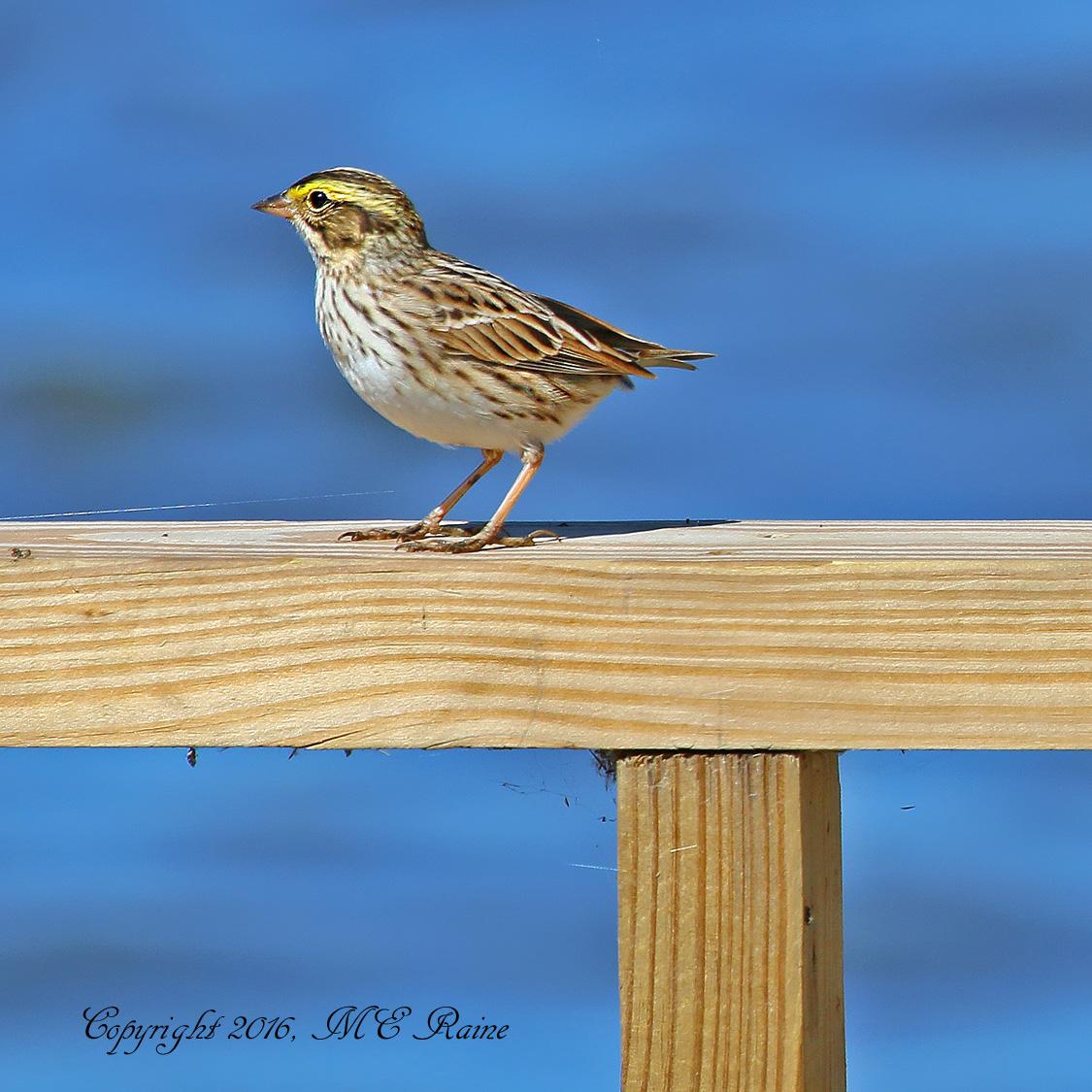 Sparrow Savannah 002af RchrdDKorte Park Mdwlnds NJ 041916 OK FLICKR