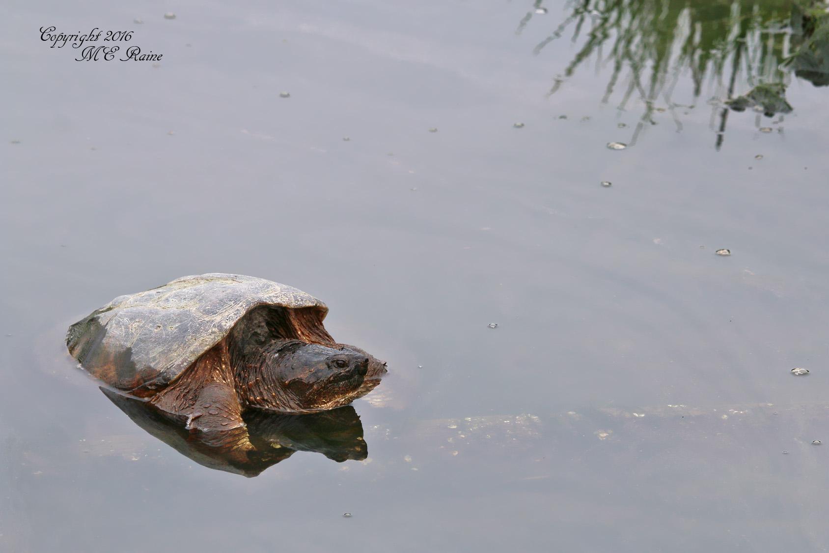 Turtle MCM 4.27.16 mickey