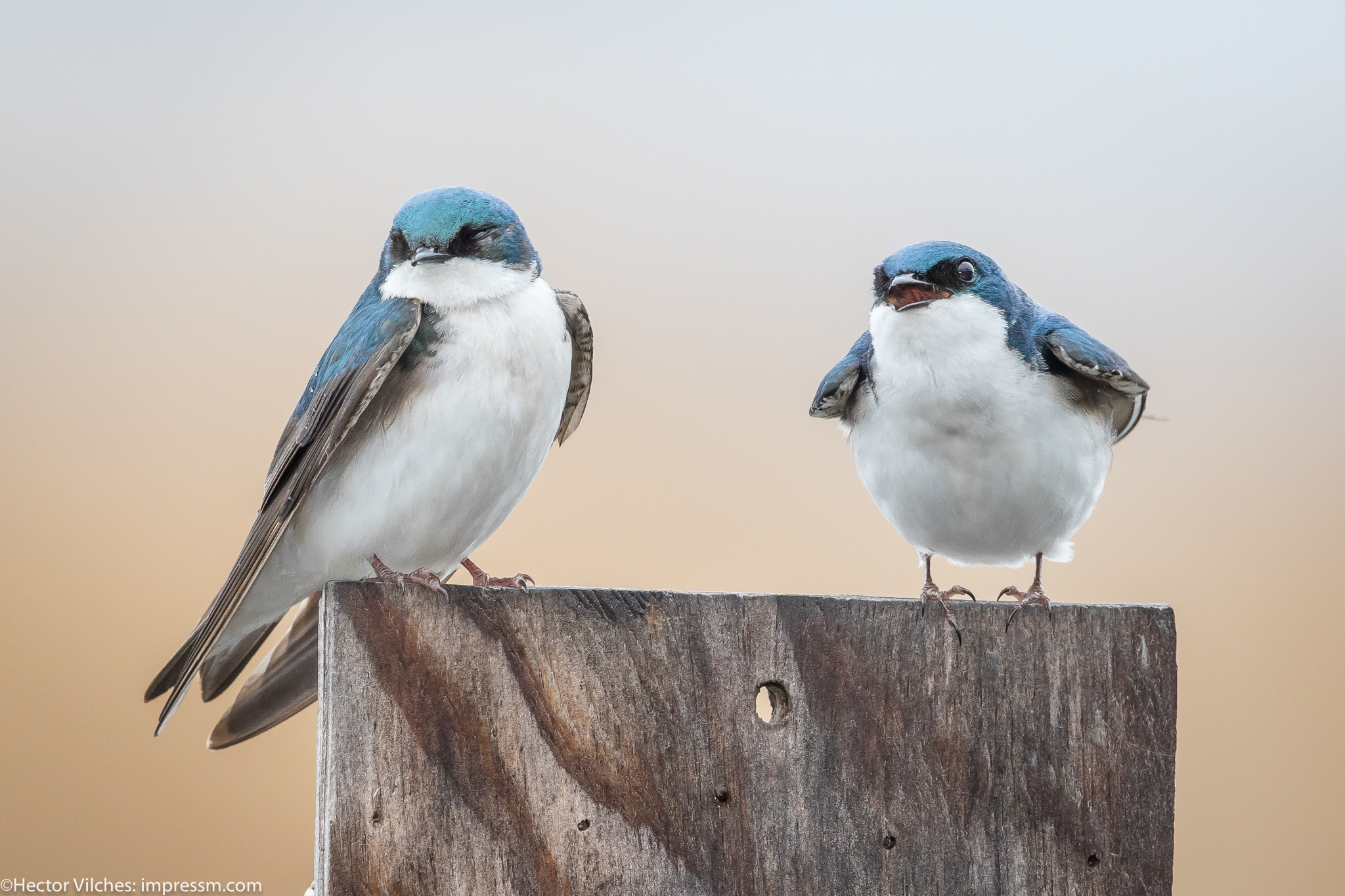 Vilches Tree Swallows1