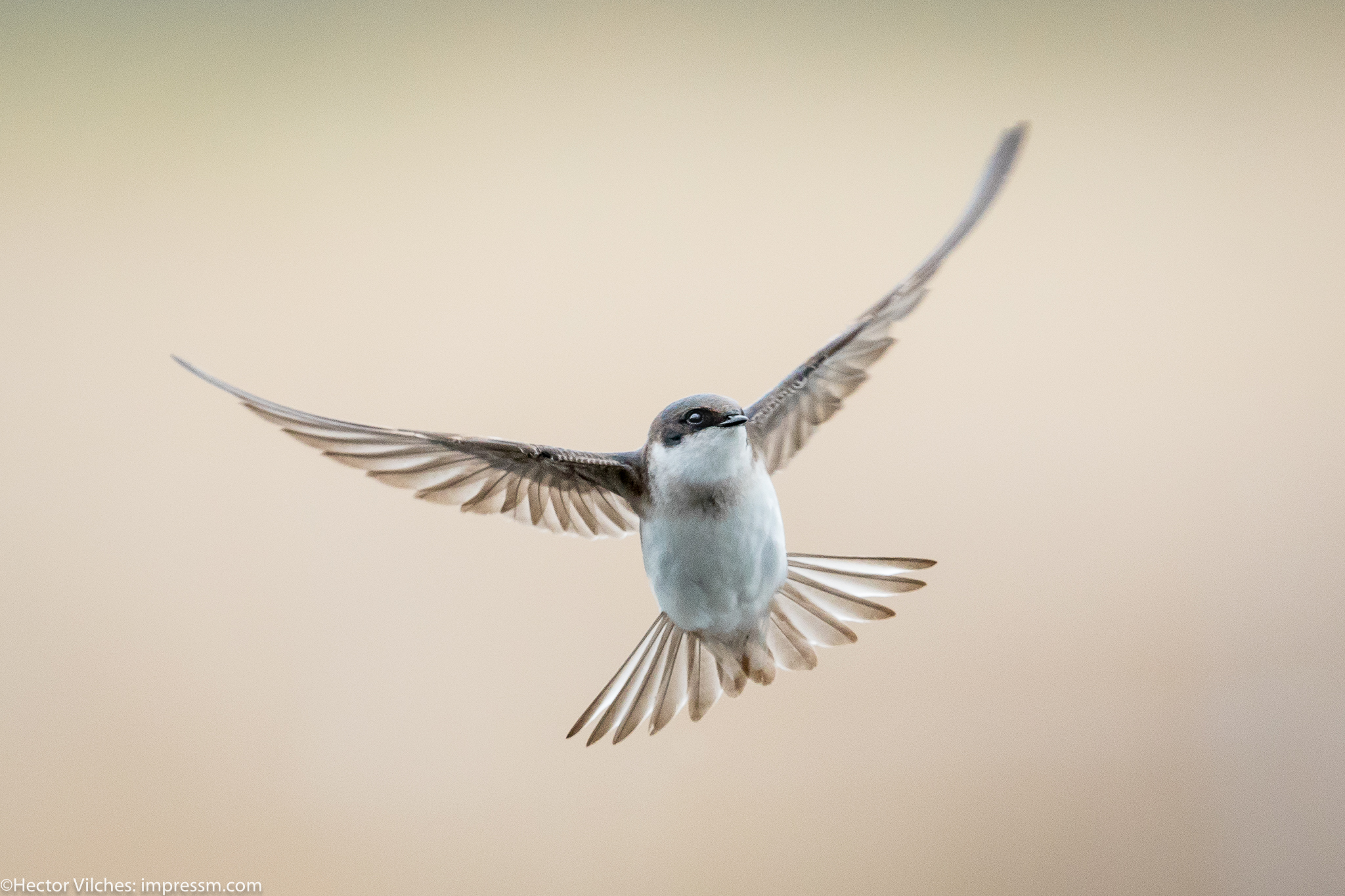 Vilches Tree Swallows10