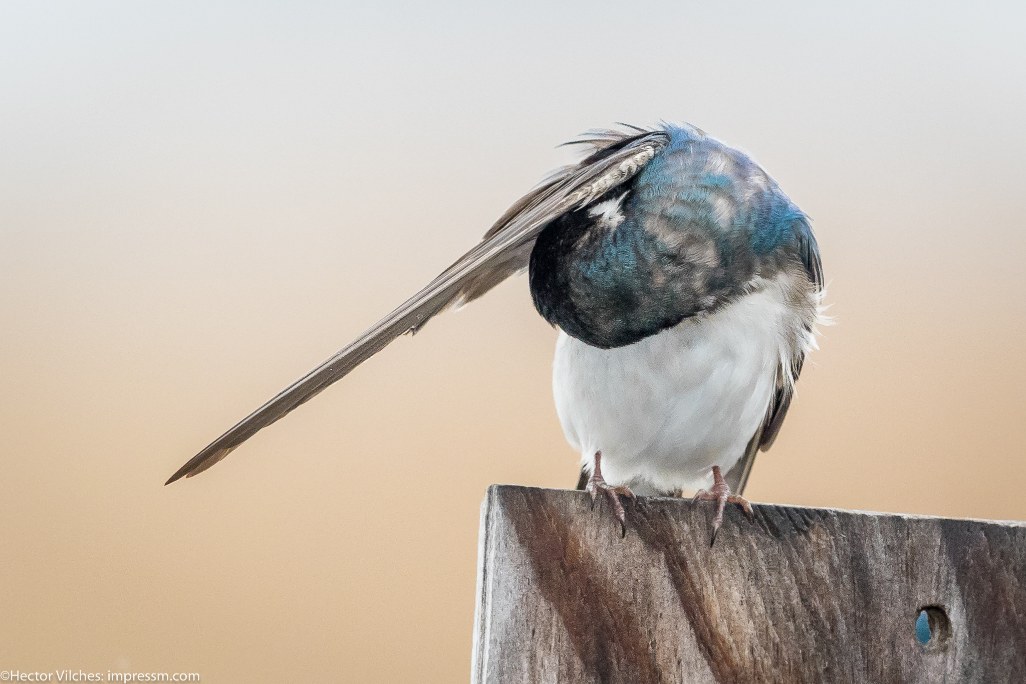 Vilches Tree Swallows3