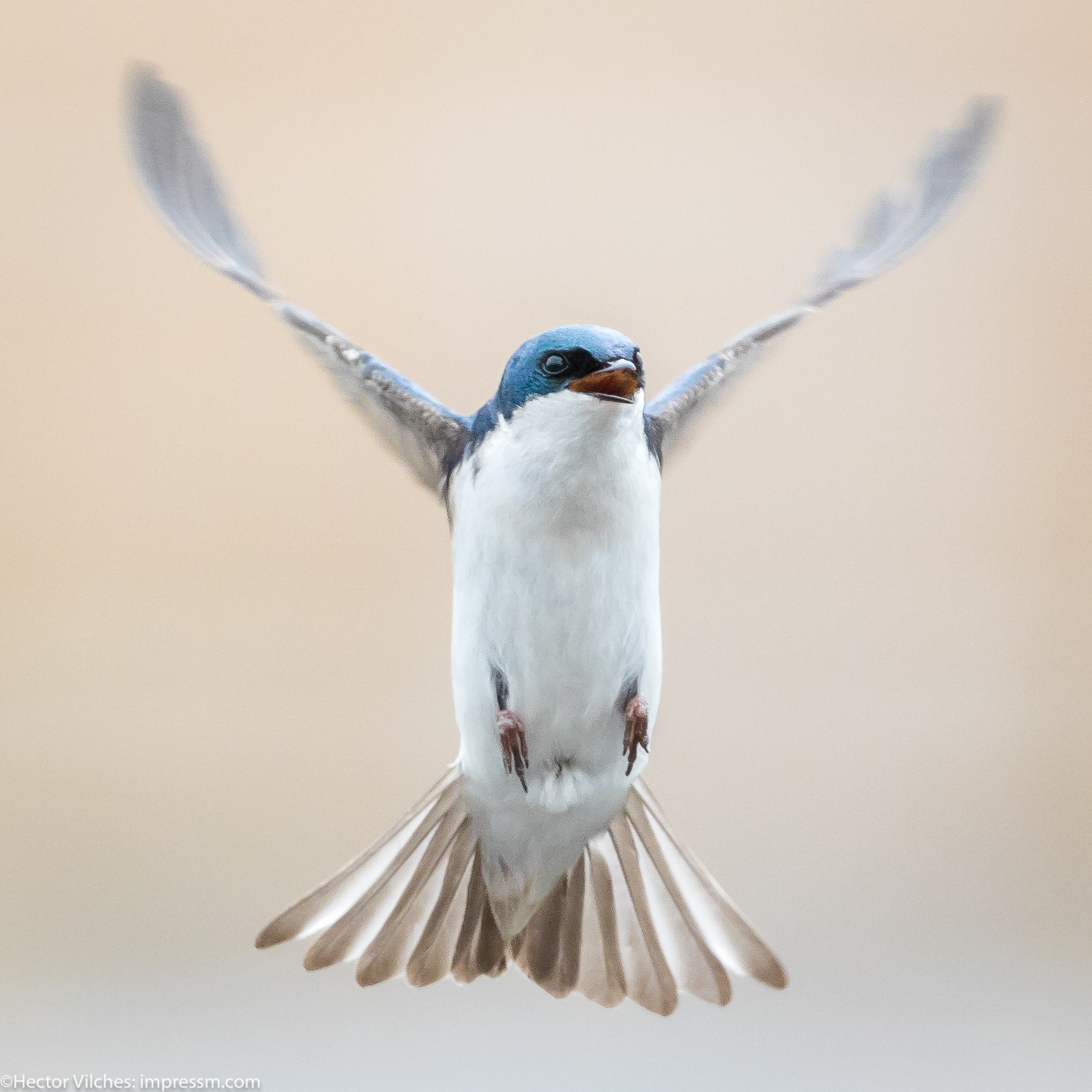 Vilches Tree Swallows4