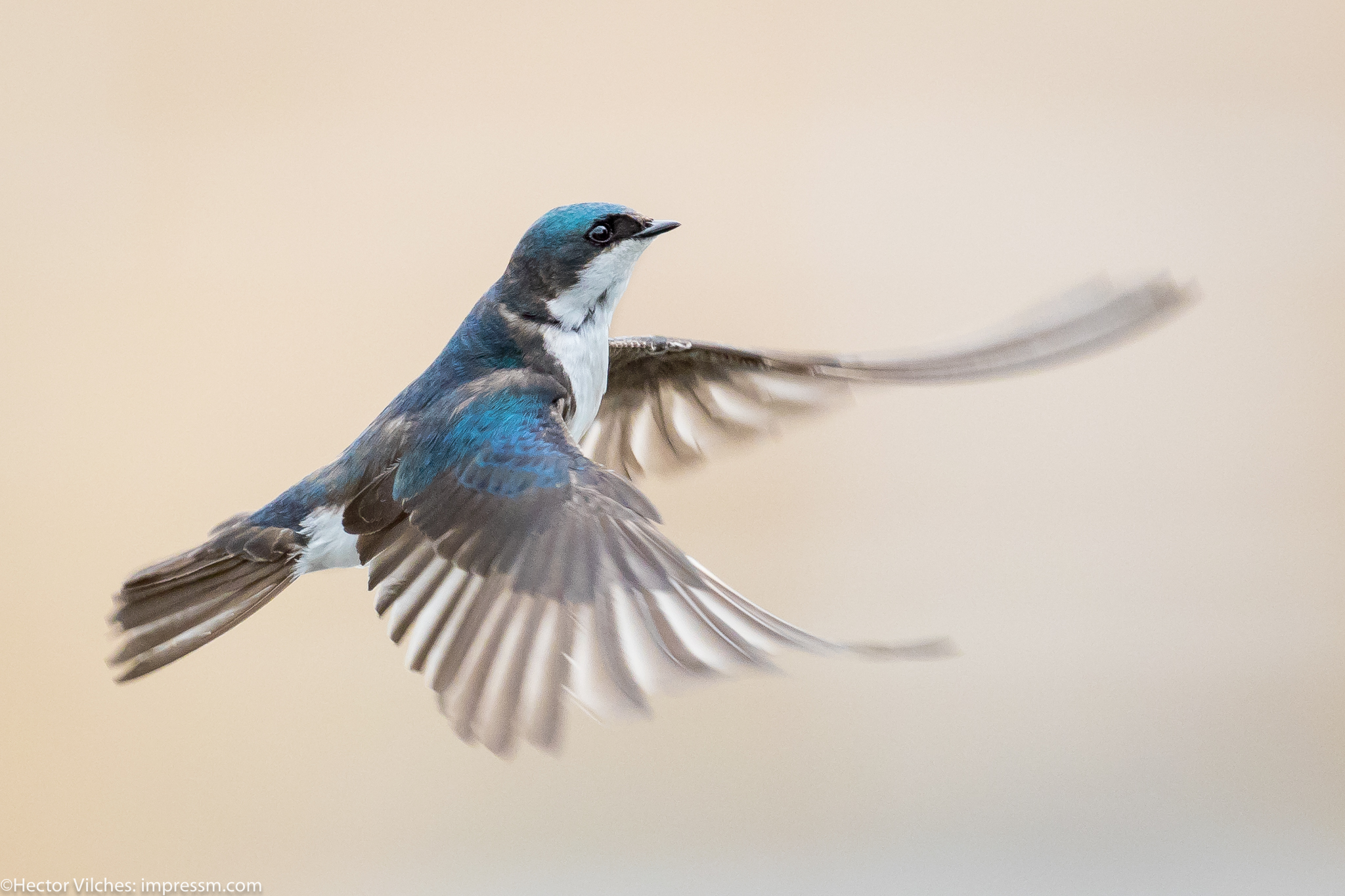 Vilches Tree Swallows5